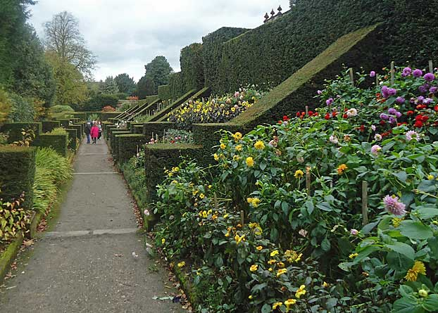 Flying buttress hedges separating dahlia beds