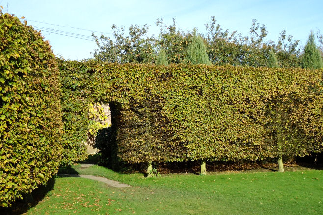 Pollarded beech hedge on stilts