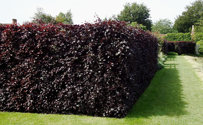 Dark Copper Beech hedging near the large pool
