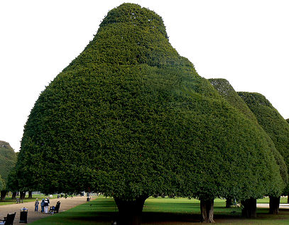 The ancient yews