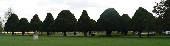 The avenue of yews showing their different shapes