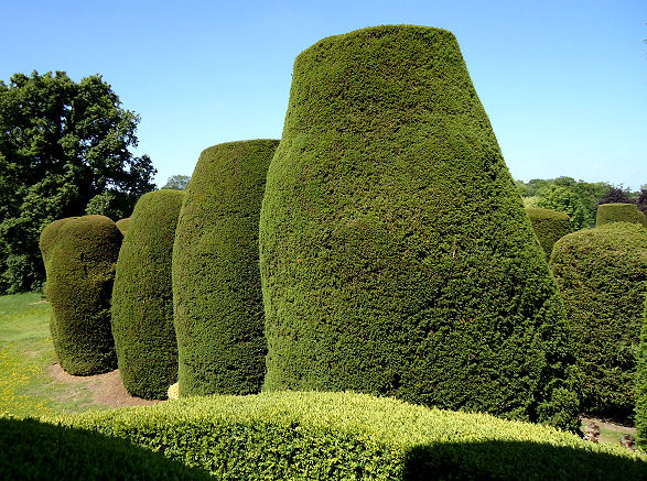 Box hedging next to the yew specimens