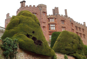 The giant yews on first terrace were planted around 1680 forming the clumps we see today