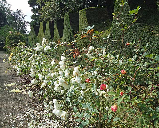 Tremendous old battlemented hedge with roses in front