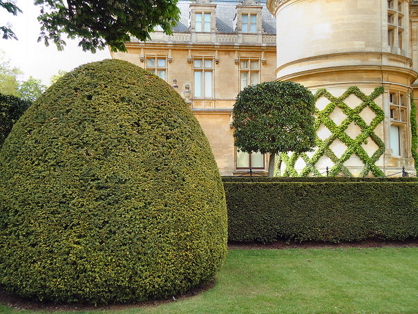 Yew specimen with standard in background showing hexagonal pattern on house