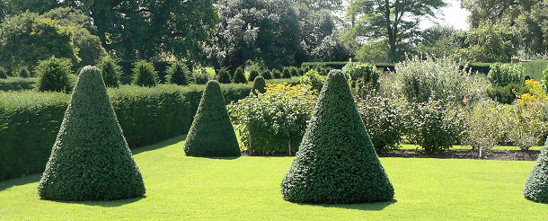 Yew specimens now growing with military precision